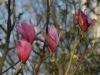 Magnolia \'Spectrum\'