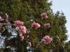 Magnolia \'Todd Gresham\'