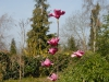 Magnolia \'Vulcan\'