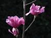 Magnolia \'Vulcan\' back-lit