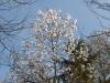 Magnolia x loebneri 'Merrill'