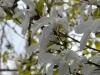 Magnolia x loebneri 'Wadas Memory'