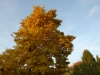 Magnolia x proctoriana - autumn colour