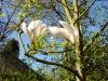 Magnolia x soulangeana 'Brozzonii'