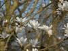 Magnolia x soulangeana 'Amabilis'