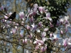 Magnolia x soulangeana 'Rose Superb'