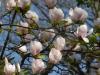 Magnolia x soulangeana 'San Jose'