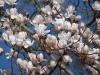 Magnolia x vietchii 'Isca'