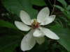 Magnolia x weisneri 'Aashild Kalleberg'