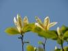 Magnolia \'Yellow Fever\'