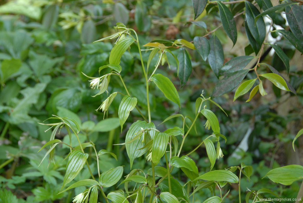 Disporum Species