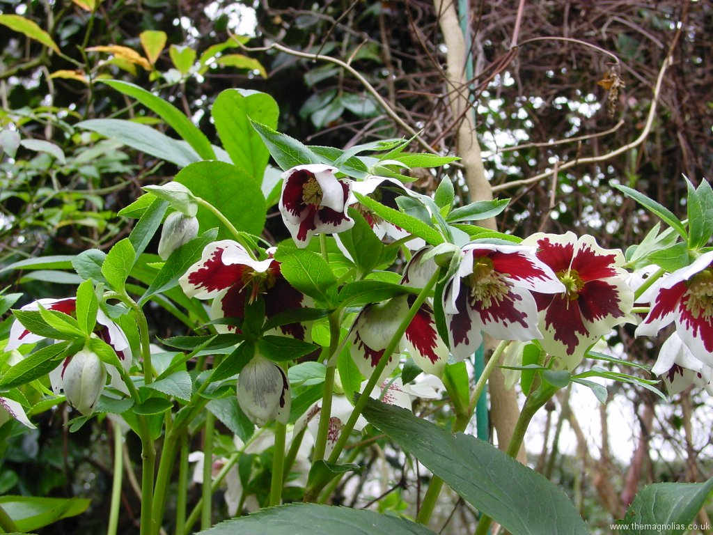 Helleborus orientalis white with heavy red blotch
