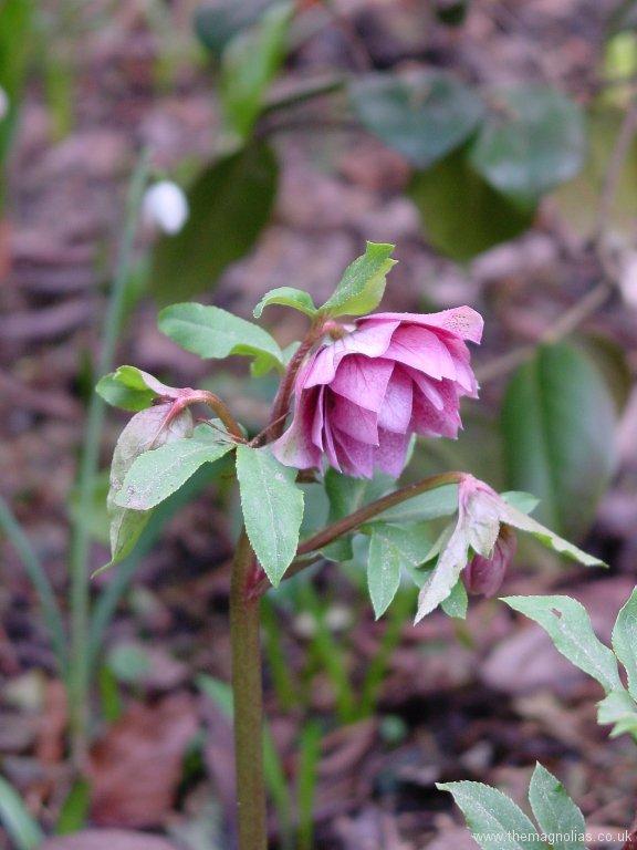Helleborus orientalis double pink