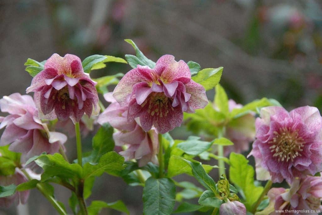 Helleborus orientalis double speckeled pink