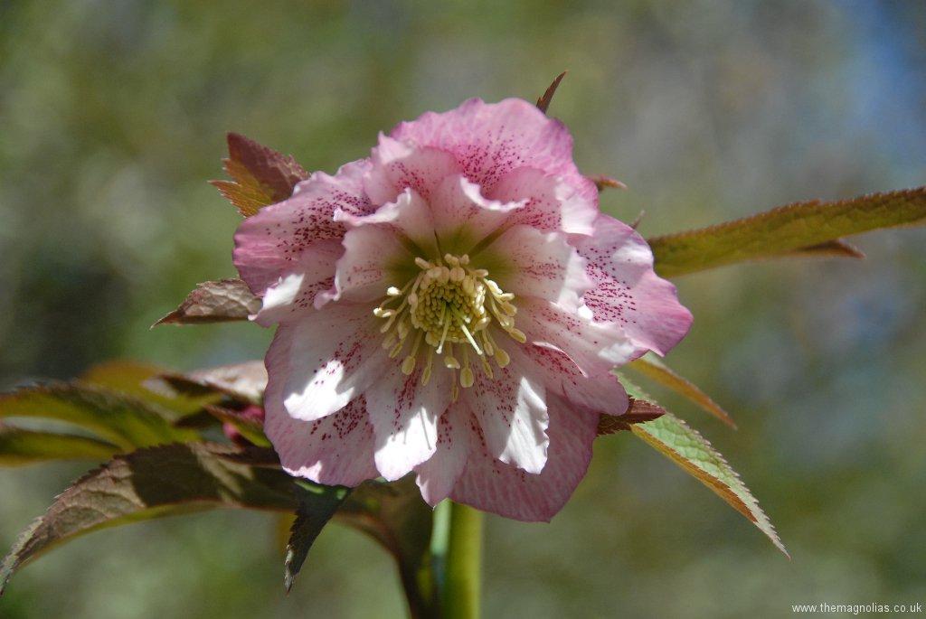 Helleborus orientalis double warm pink