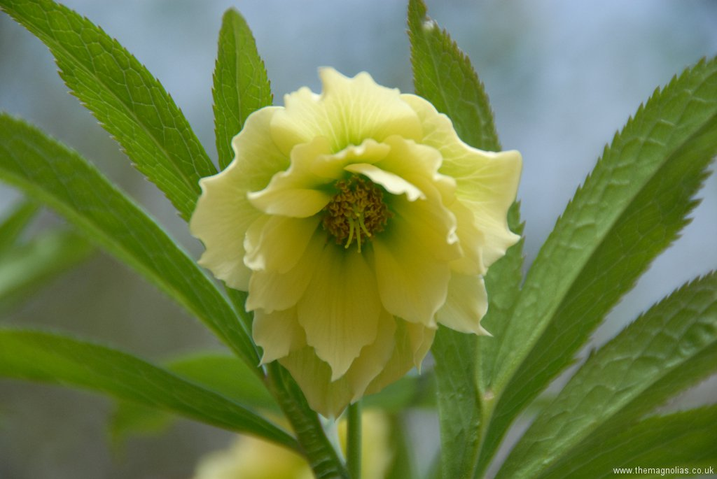 Helleborus orientalis double yellow