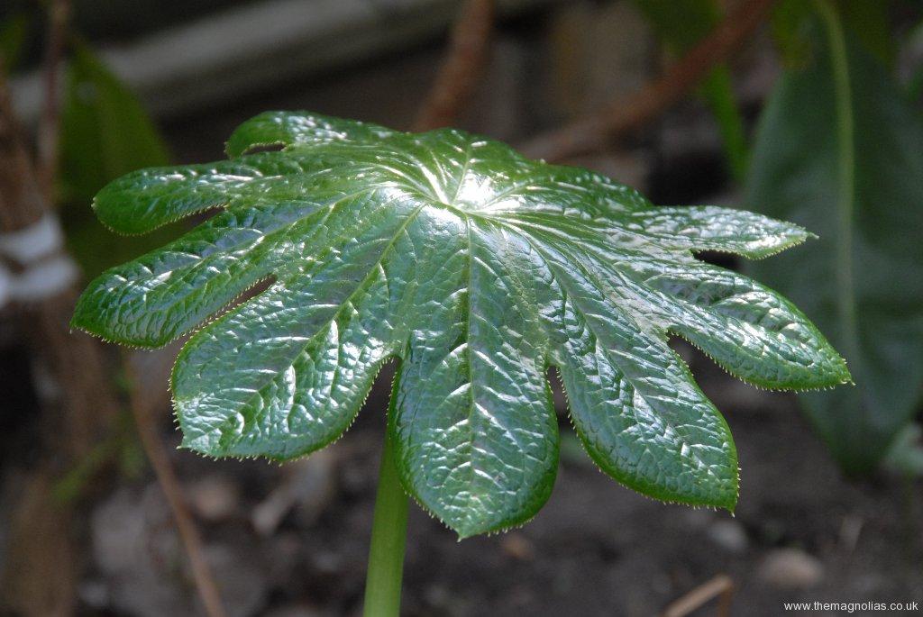 Pdophyllum versipile
