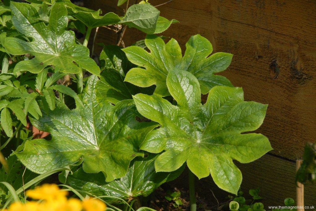 Podophyllum versipile