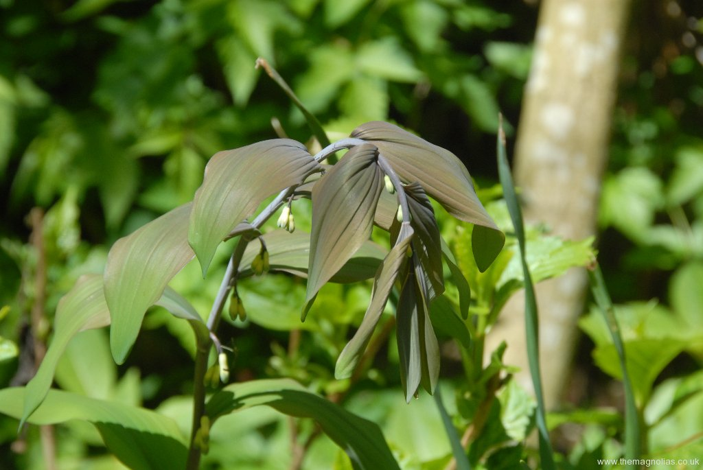 Polygnatum x hybridum 'Betburg'