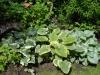 Bunnera macrophylla Varieties