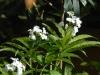 Cardamine heterophylla
