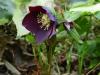 Helleborus orientalis black