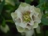 Helleborus orientalis double creamy white, light speckling