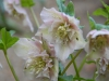 Helleborus orientalis anemoneform