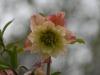 Helleborus orientalis double apricot