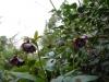 Helleborus orientalis double black