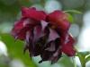 Helleborus orientalis double plum-red