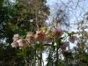 Helleborus orientalis pink