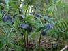 Helleborus orientalis slaty blue-black