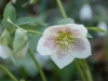 Helleborus orientalis spotted