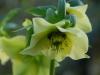 Helleborus orientalis yellow