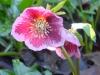 Helleborus orientalis red blotched pink