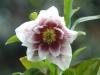 Helleborus orientalis double whie, heavy speckling