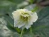 Helleborus orientalis double white