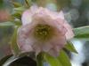 Helleborus orientalis double pale pink