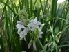 Hosta 'Fragrant Fouquet' - flowers