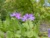 Primula sieboldii 'Frilly Blue'