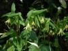Uvularia grandiflora palidiflora