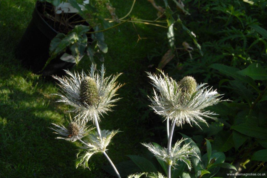 Eryngium alpinum cv.