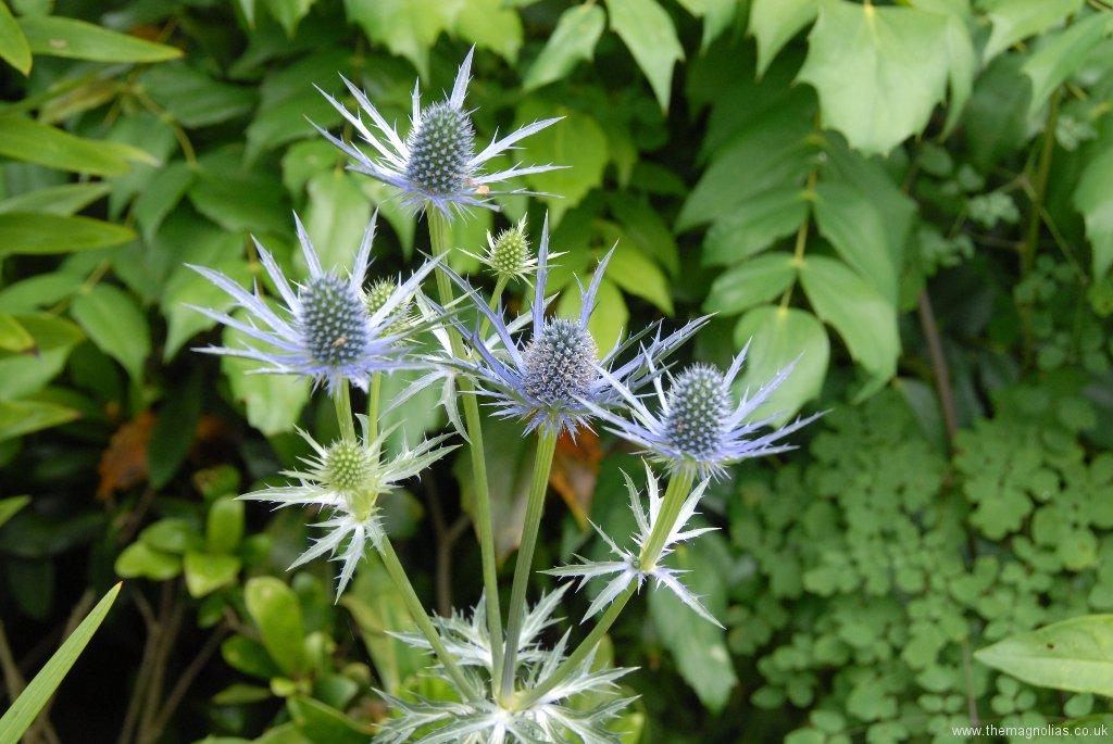 Eryngium zabelii 'Big Blue'