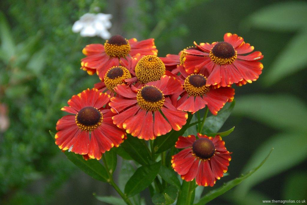 Helenium 'Red- Jewel'