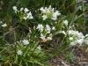 Agapanthus Dwarf White