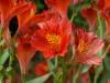 Alstroemeria cv
