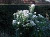 Aster nova-angiae white
