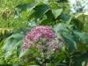 Eupatorium purpureum 'Glutball'