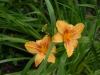 Hemerocallis 'Amber Classic'
